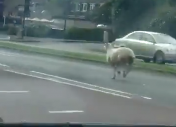 Surprised motorists find a sheep on Stratford Road.