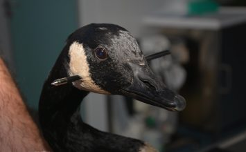 Goose shot in the head with a crossbow at Swanshurst Park.