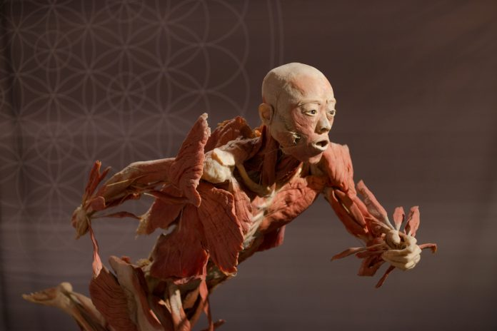 Real Bodies The Exhibition Featuring Perfectly Preserved Human